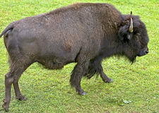 Bison 6 Royalty Free Stock Image