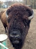 bison Photographie stock