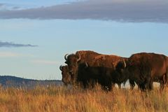 bison Image stock