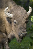 Bison. A closeup view of the head of a huge Bison stock photography