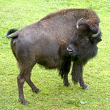 Bison 7 Royalty Free Stock Photography
