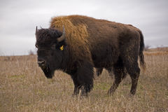 Bison. Wild bison starring at you Royalty Free Stock Photography