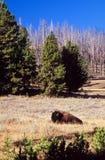 Bison Stockfoto