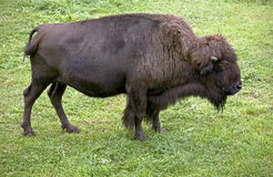 Bison 8 Royalty Free Stock Images
