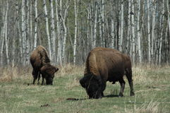 Bison. Two North American Bison with a birch background Royalty Free Stock Photography