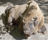 Bison 9 Stock Photography