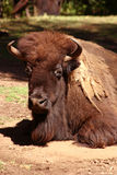 Bison. Resting bison Royalty Free Stock Photos