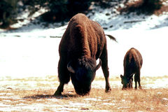 BISON. North American Bison witf calf Royalty Free Stock Photos