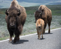Bison Adult and Calf on Road Royalty Free Stock Photo
