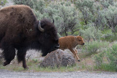 Bison Adult and Calf in Yellowstone National Park. An adult bison with a calf in sagebrush in Yellowstone National Park royalty free stock photography