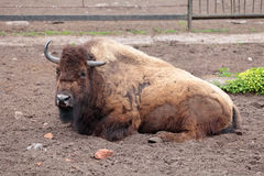 Bison. Adult bison is on the ground in the open-air cage of the zoo Stock Image