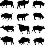 Bison, African buffalo and Asian buffalo. Bison all over the world, they are the big of the animals, hot-tempered personality Stock Photos