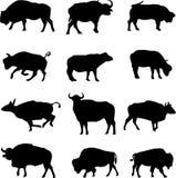 Bison, afrikanischer Büffel und asiatischer Büffel Stockfotos