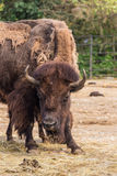 Bison in aggressive pose. Royalty Free Stock Photography