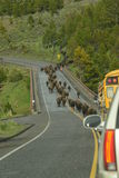 Bison aka Buffalo herd on a migration over a bridge in Yellowstone Royalty Free Stock Photo