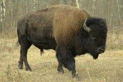 Bison in Alberta. Bull bison in Alberta, Canada Royalty Free Stock Photos