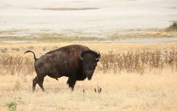 Bison on alert Stock Photo