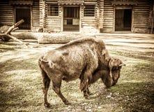 Bison allein Stockfotos