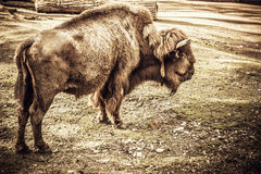 Bison alone Royalty Free Stock Image