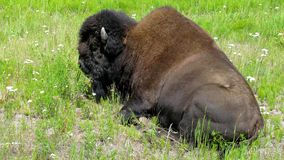 Bison. Along the Alaska Highway stock image