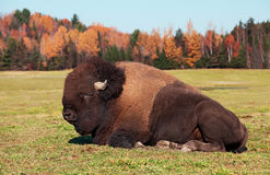 Bison also known as an American  Buffalo Stock Photography