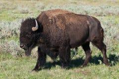 Bison américain Photos stock