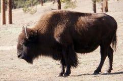 Bison américain photo libre de droits