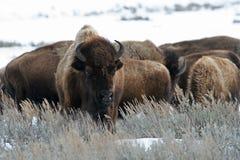 Bison américain Photo stock