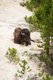 Bison américain Image stock