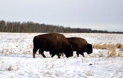 Bison américain Photographie stock