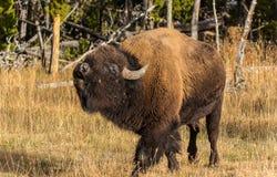 Bison américain Image libre de droits