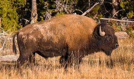 Bison américain Photographie stock libre de droits