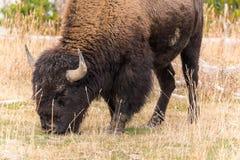 Bison américain Images libres de droits