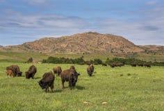 Bison américain photos libres de droits