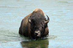 Bison américain, bison de bison Photographie stock libre de droits
