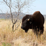 Bison américain, bison de bison image libre de droits