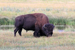 Bison américain (Buffalo) Photo libre de droits