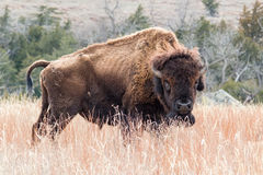 Bison américain dans l'herbe sèche Images libres de droits