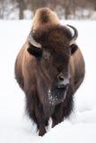 Bison américain dans la neige II Photo libre de droits