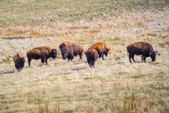 Bison américain dans le domaine du parc d'état d'île d'antilope, Utah photo stock