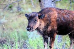 Bison américain de parc national de Yellowstone photo libre de droits