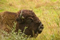 Bison américain s'étendant dans l'herbe Photo libre de droits
