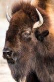Bison américain VI Image libre de droits
