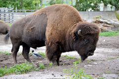 The bison American Bison bison Linnaeus costs in the shelter of a zoo Royalty Free Stock Images