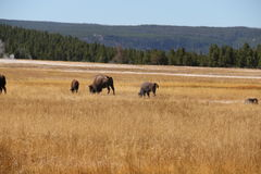 Bison american buffalo in a meadow by Lower Basin of Yellowstone National Park Stock Images