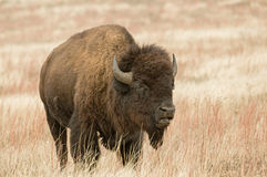 Bison or American Buffalo Royalty Free Stock Images