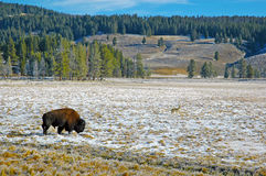 Bison or American Buffalo, Rocky Mountains, USA Royalty Free Stock Photo