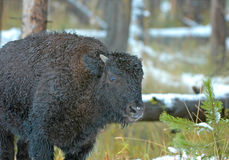Bison or American Buffalo, Rocky Mountains, USA Stock Photography