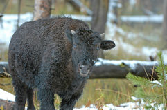 Bison or American Buffalo, Rocky Mountains, USA Stock Images