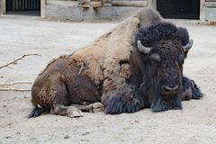 Bison - American Buffalo - Zoo Cologne Royalty Free Stock Photo